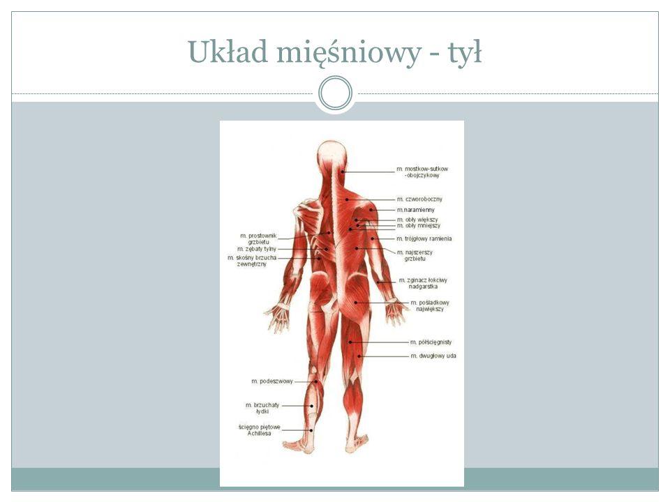 Układ mięśniowy Gdy mówimy o układzie mięśniowym mamy na myśli zazwyczaj mięśnie poprzecznie prążkowane, tzw.