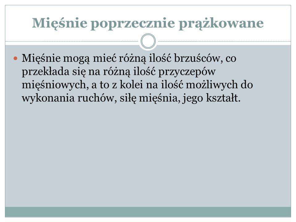 Mięśnie ramienia Przednie - kruczo ramienny pp.wyrostek kruczy łopatki pk.