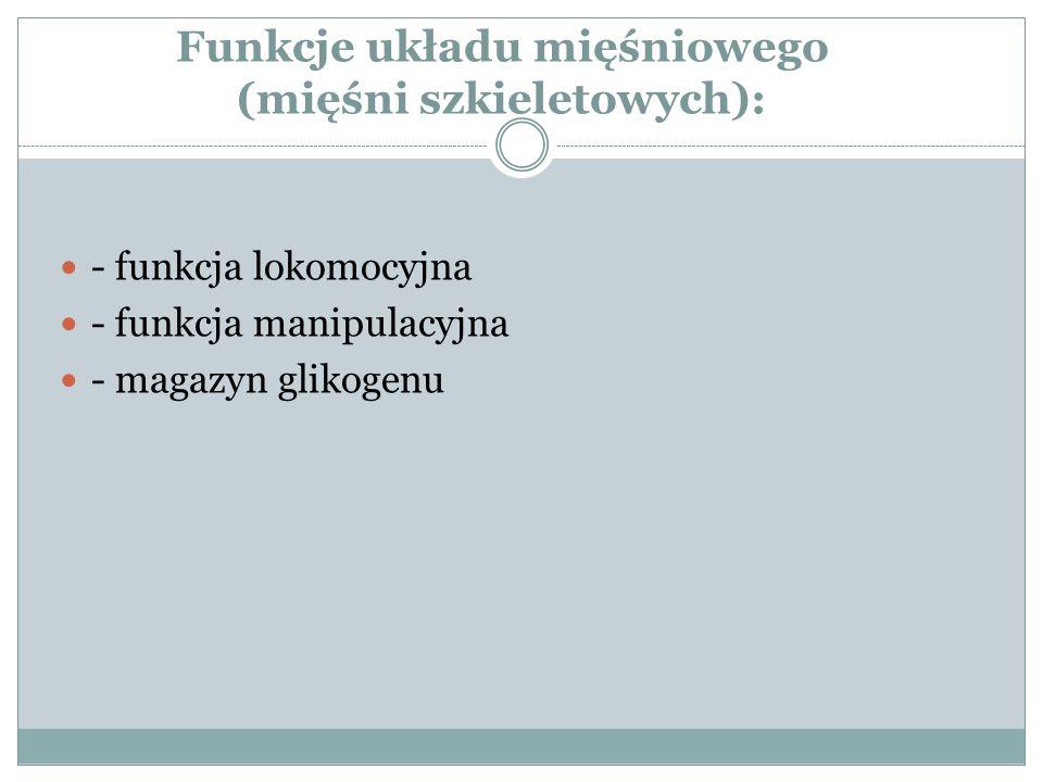 Funkcje układu mięśniowego (mięśni szkieletowych): - funkcja lokomocyjna - funkcja manipulacyjna - magazyn glikogenu