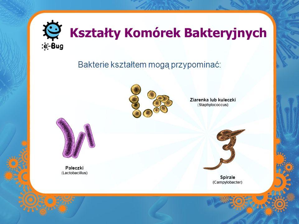 Kształty Komórek Bakteryjnych Bakterie kształtem mogą przypominać: Spirale (Campylobacter) Pałeczki (Lactobacillus) Ziarenka lub kuleczki (Staphylococ