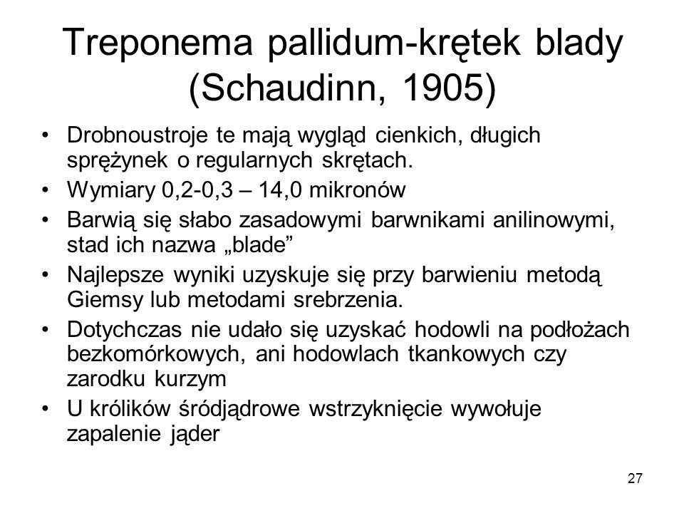 27 Treponema pallidum-krętek blady (Schaudinn, 1905) Drobnoustroje te mają wygląd cienkich, długich sprężynek o regularnych skrętach. Wymiary 0,2-0,3