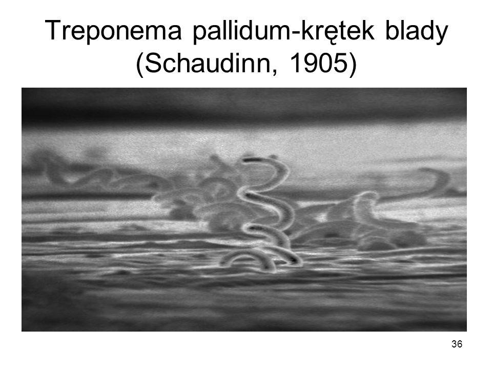 36 Treponema pallidum-krętek blady (Schaudinn, 1905)