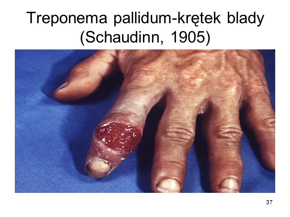 37 Treponema pallidum-krętek blady (Schaudinn, 1905)