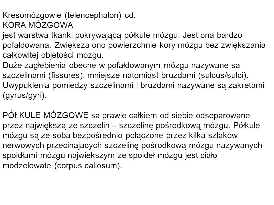 Kresomózgowie (telencephalon) cd. KORA MÓZGOWA jest warstwa tkanki pokrywającą półkule mózgu.
