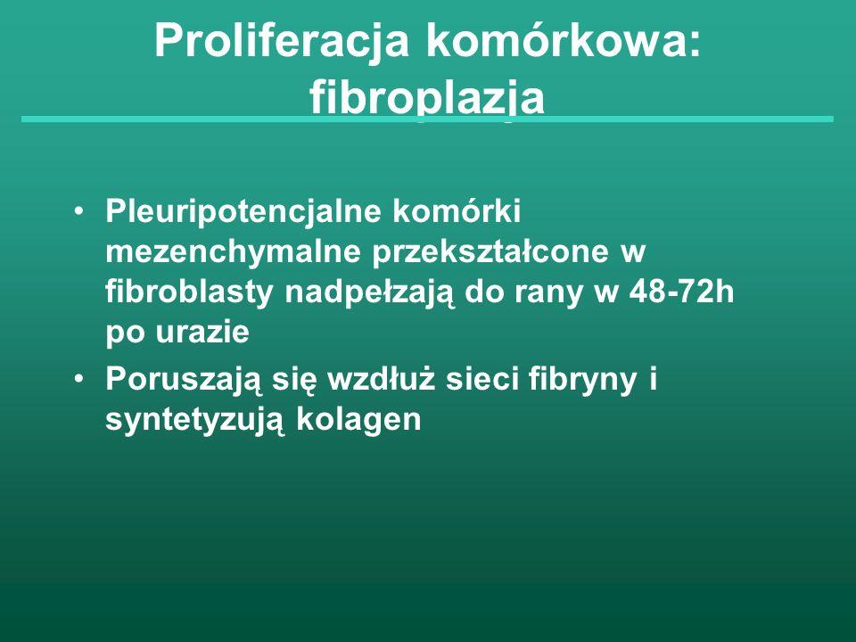 Proliferacja komórkowa: fibroplazja Pleuripotencjalne komórki mezenchymalne przekształcone w fibroblasty nadpełzają do rany w 48-72h po urazie Porusza