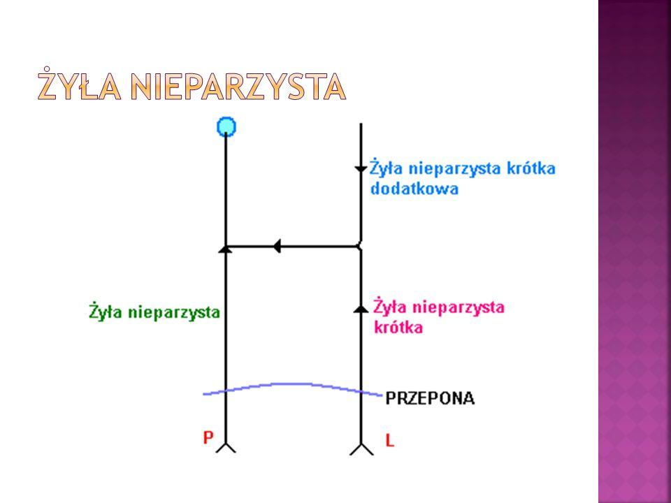A) KOŃCZYNA GÓRNA: Żyły głębokie KG (kolejność od obwodu do centrali): 2 żyły promieniowe + 2 żyły łokciowe = 2 żyły ramienne Żyła pachowa Żyła podobojczykowa + żyła szyjna wewnętrzna = Żyła ramienno- głowowa