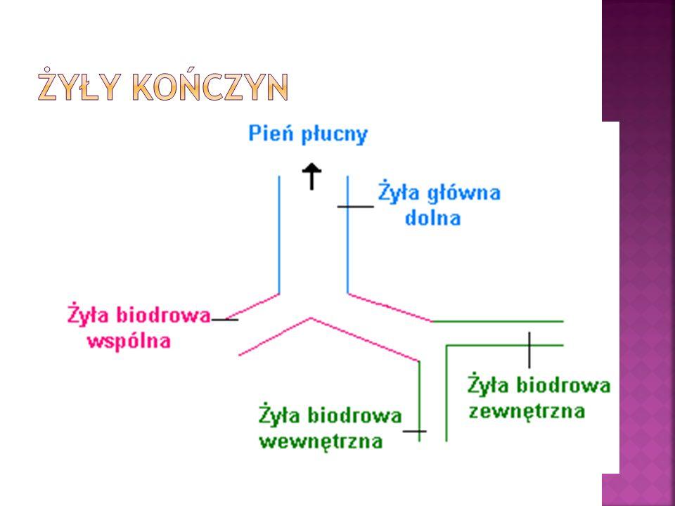 Żyły powierzchowne KD: Żyła opdpiszczelowa- rozpoczyna się na poziomie kostki przyśrodkowej, biegnie na powierzchni przednio- przyśrodkowej podudzia i uda.
