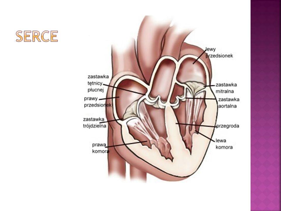 1. Wsierdzie- to nabłonek spoczywający na błonie podstawnej, wyściełający od wewnątrz ściany serca.