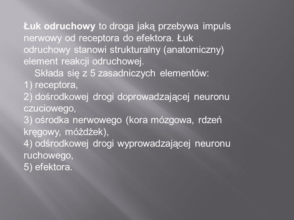 Łuk odruchowy to droga jaką przebywa impuls nerwowy od receptora do efektora. Łuk odruchowy stanowi strukturalny (anatomiczny) element reakcji odrucho