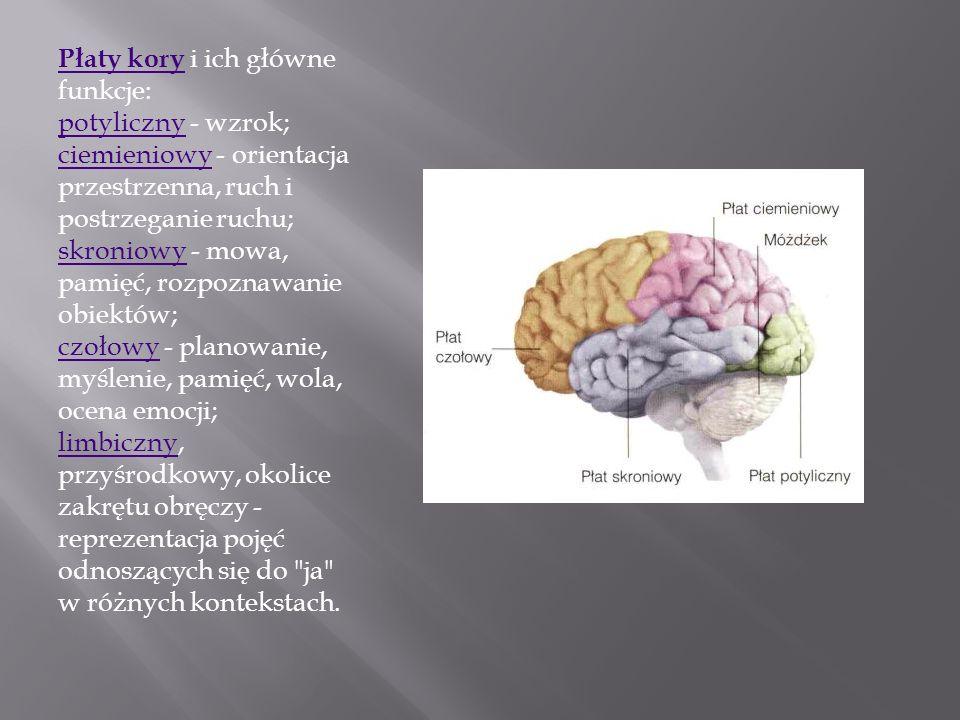 Płaty kory Płaty kory i ich główne funkcje: potyliczny - wzrok; ciemieniowy - orientacja przestrzenna, ruch i postrzeganie ruchu; skroniowy - mowa, pa