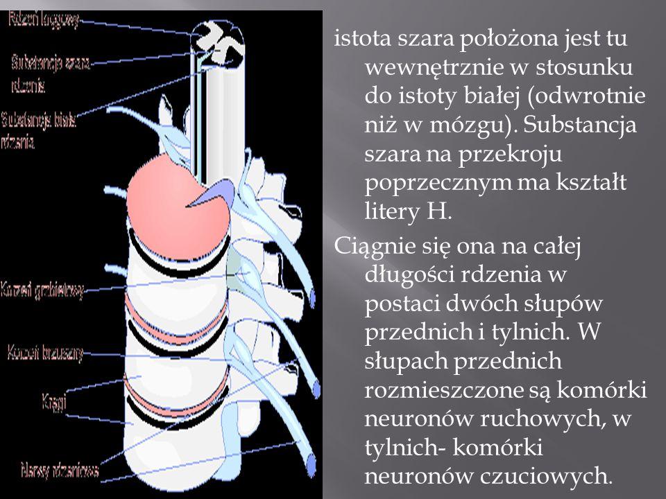 istota szara położona jest tu wewnętrznie w stosunku do istoty białej (odwrotnie niż w mózgu). Substancja szara na przekroju poprzecznym ma kształt li