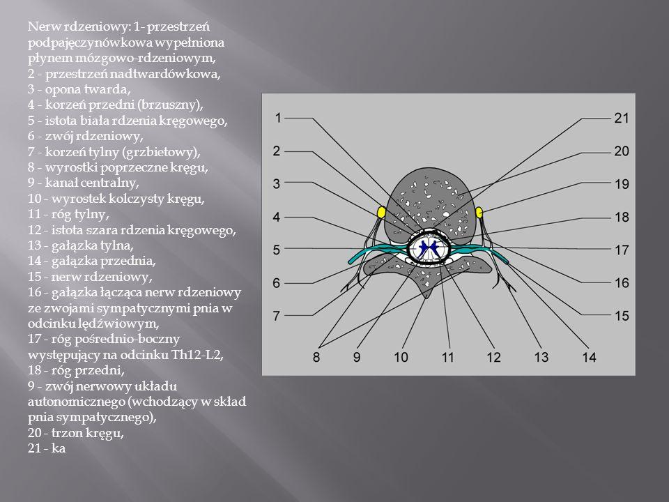 Nerw rdzeniowy: 1- przestrzeń podpajęczynówkowa wypełniona płynem mózgowo-rdzeniowym, 2 - przestrzeń nadtwardówkowa, 3 - opona twarda, 4 - korzeń prze