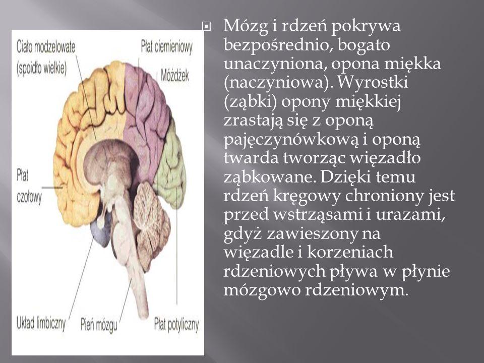 Mózg i rdzeń pokrywa bezpośrednio, bogato unaczyniona, opona miękka (naczyniowa). Wyrostki (ząbki) opony miękkiej zrastają się z oponą pajęczynówkową