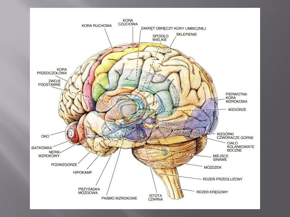 Płyn mózgowo - rdzeniowy wypełnia przestrzeń pomiędzy pajęczynówką a oponą miękką.