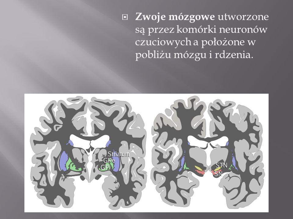 Zwoje mózgowe utworzone są przez komórki neuronów czuciowych a położone w pobliżu mózgu i rdzenia.