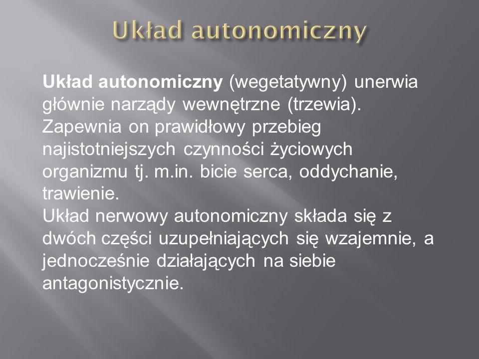 Układ autonomiczny (wegetatywny) unerwia głównie narządy wewnętrzne (trzewia). Zapewnia on prawidłowy przebieg najistotniejszych czynności życiowych o