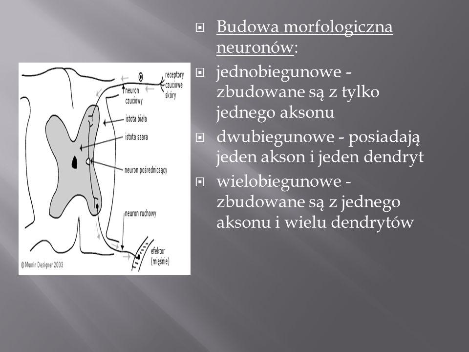 Budowa morfologiczna neuronów: jednobiegunowe - zbudowane są z tylko jednego aksonu dwubiegunowe - posiadają jeden akson i jeden dendryt wielobiegunow