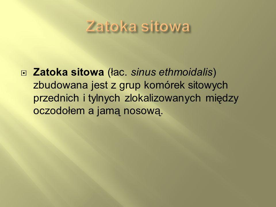 Zatoka sitowa (łac. sinus ethmoidalis) zbudowana jest z grup komórek sitowych przednich i tylnych zlokalizowanych między oczodołem a jamą nosową.