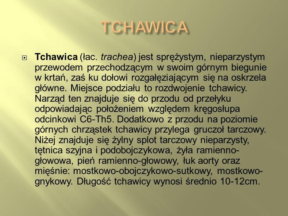 Tchawica (łac. trachea) jest sprężystym, nieparzystym przewodem przechodzącym w swoim górnym biegunie w krtań, zaś ku dołowi rozgałęziającym się na os