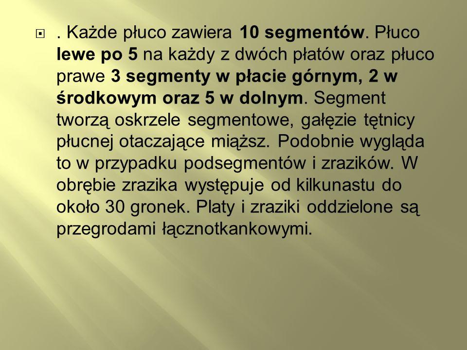 . Każde płuco zawiera 10 segmentów. Płuco lewe po 5 na każdy z dwóch płatów oraz płuco prawe 3 segmenty w płacie górnym, 2 w środkowym oraz 5 w dolnym