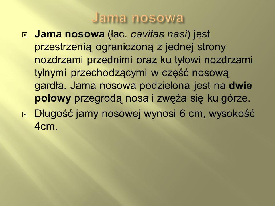 Jama nosowa (łac. cavitas nasi) jest przestrzenią ograniczoną z jednej strony nozdrzami przednimi oraz ku tyłowi nozdrzami tylnymi przechodzącymi w cz