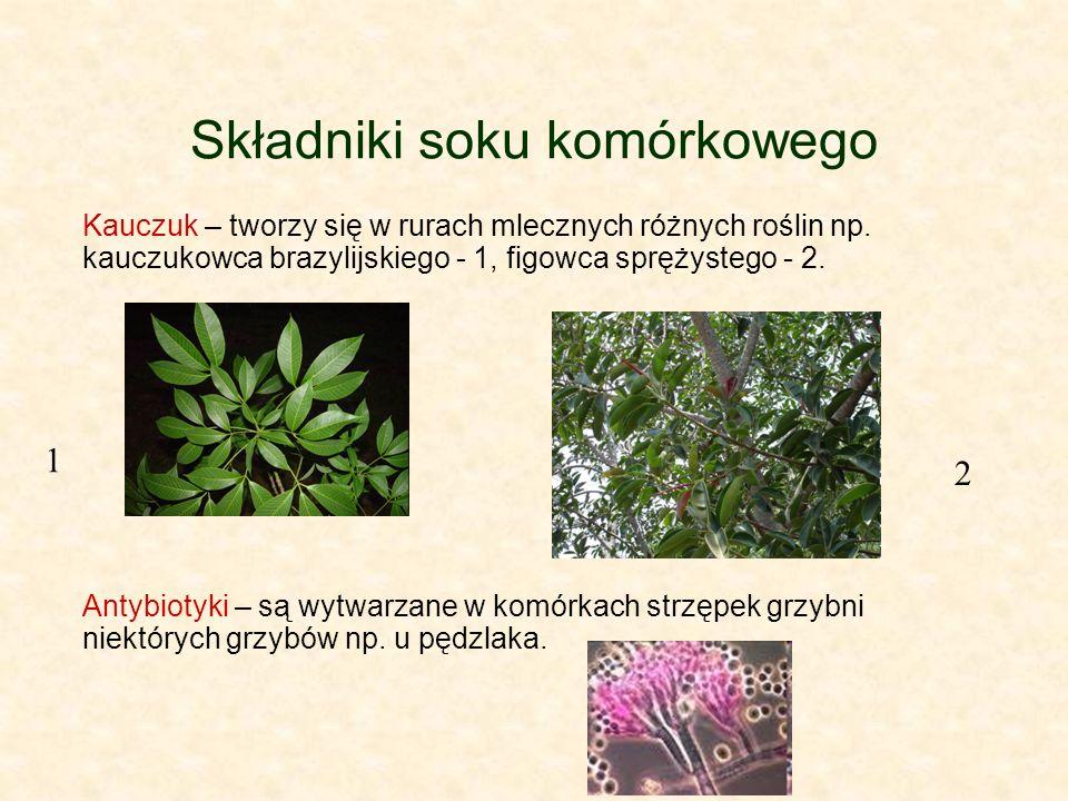 Składniki soku komórkowego Kauczuk – tworzy się w rurach mlecznych różnych roślin np. kauczukowca brazylijskiego - 1, figowca sprężystego - 2. Antybio