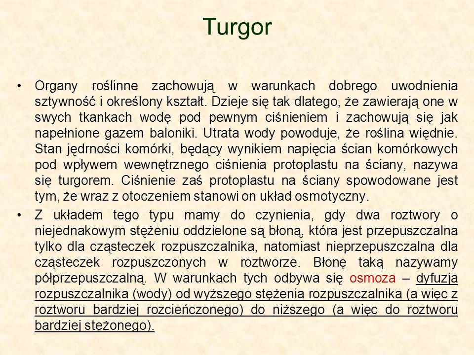 Turgor Organy roślinne zachowują w warunkach dobrego uwodnienia sztywność i określony kształt. Dzieje się tak dlatego, że zawierają one w swych tkanka