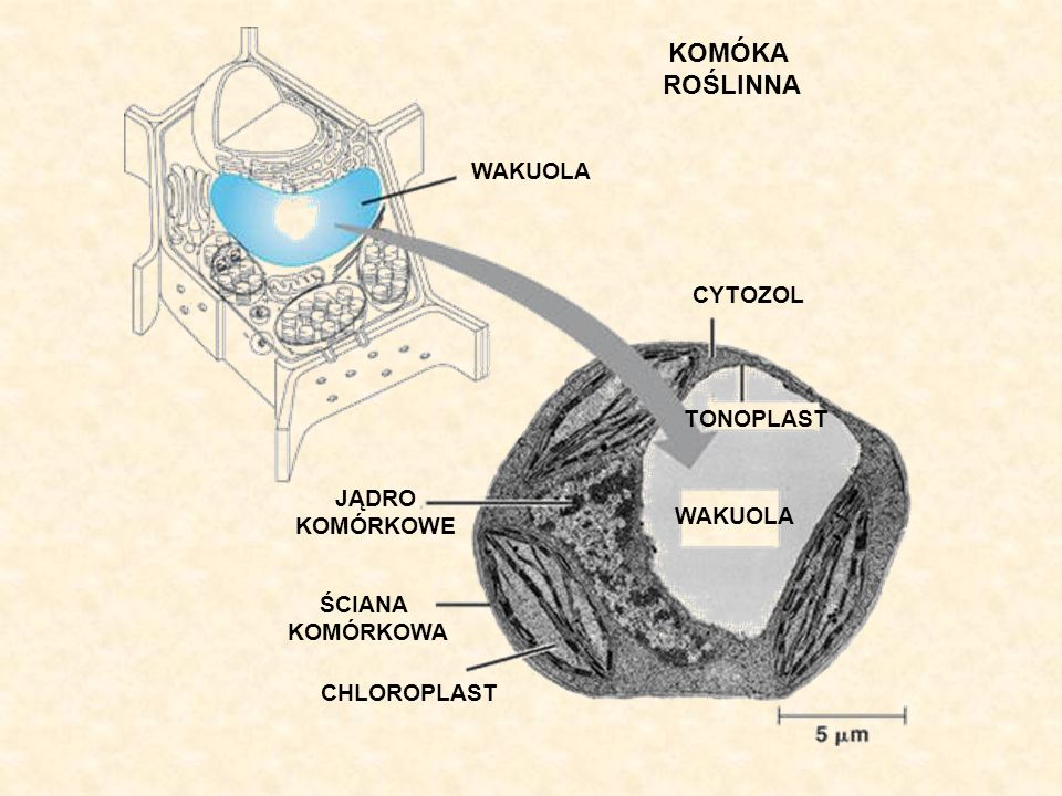 Składniki soku komórkowego Skład soku komórkowego ulega zmianom w toku życia komórki i organizmu.