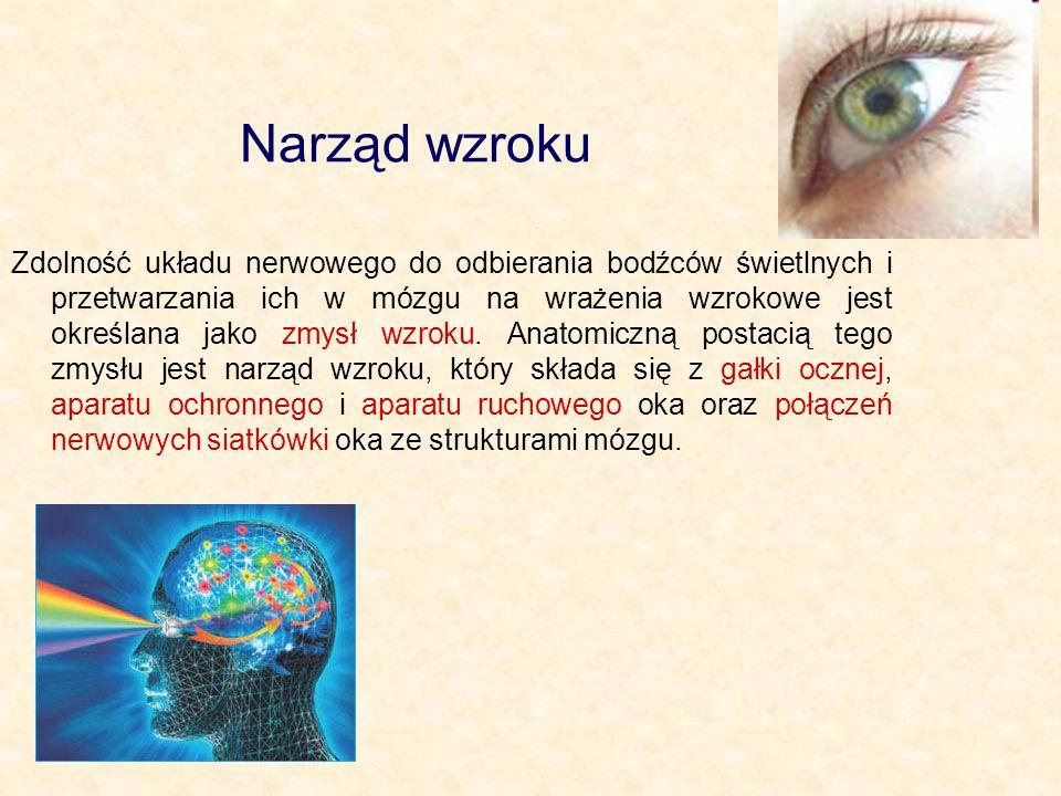 Narząd wzroku Zdolność układu nerwowego do odbierania bodźców świetlnych i przetwarzania ich w mózgu na wrażenia wzrokowe jest określana jako zmysł wz