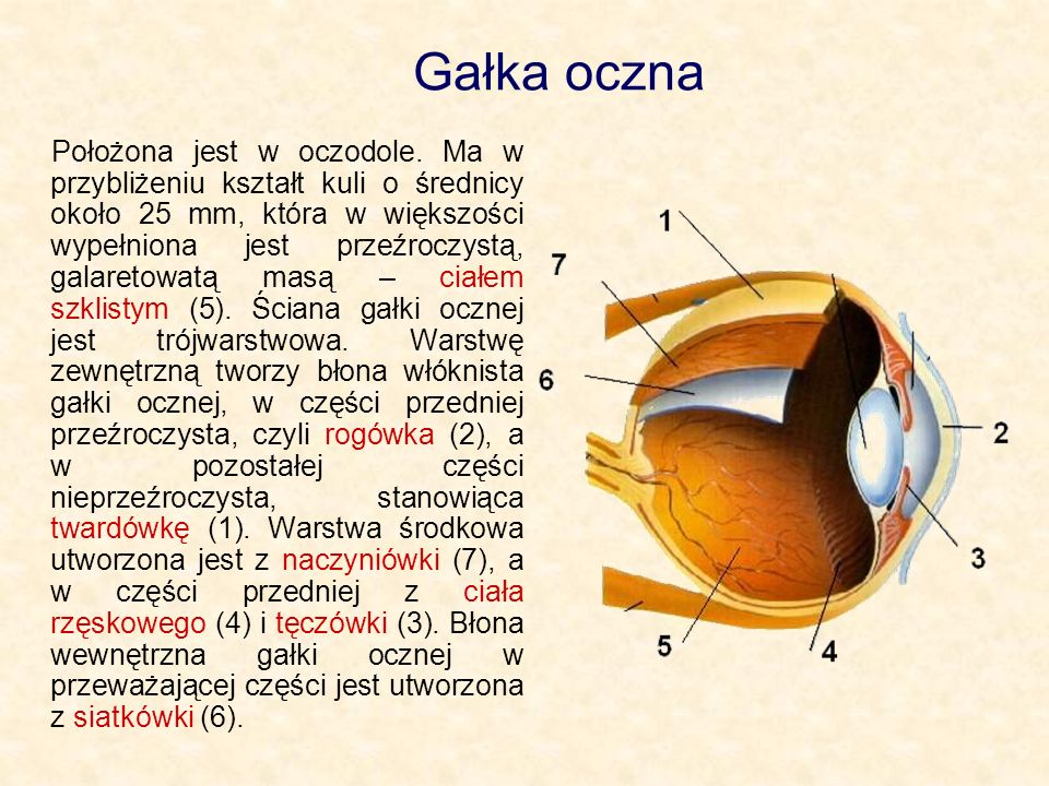 Gałka oczna Położona jest w oczodole. Ma w przybliżeniu kształt kuli o średnicy około 25 mm, która w większości wypełniona jest przeźroczystą, galaret