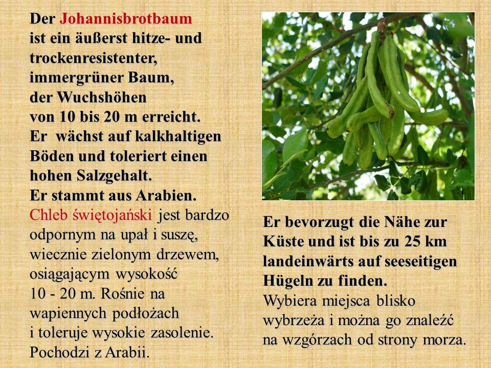 Der Johannisbrotbaum ist ein äußerst hitze- und trockenresistenter, immergrüner Baum, der Wuchshöhen von 10 bis 20 m erreicht. Er wächst auf kalkhalti