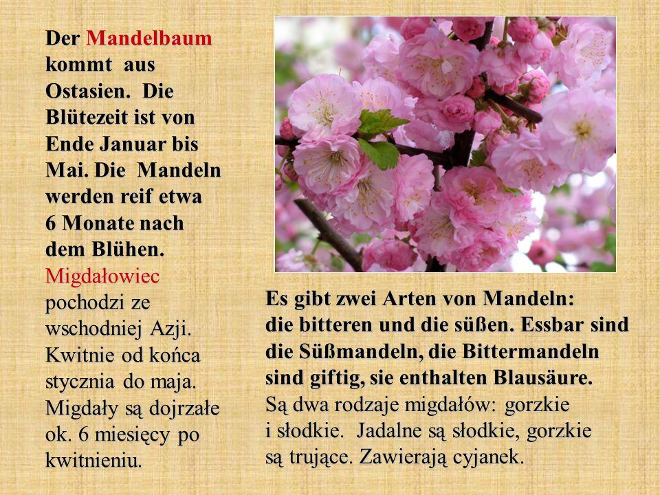 Der Mandelbaum kommt aus Ostasien. Die Blütezeit ist von Ende Januar bis Mai. Die Mandeln werden reif etwa 6 Monate nach dem Blühen. Migdałowiec pocho