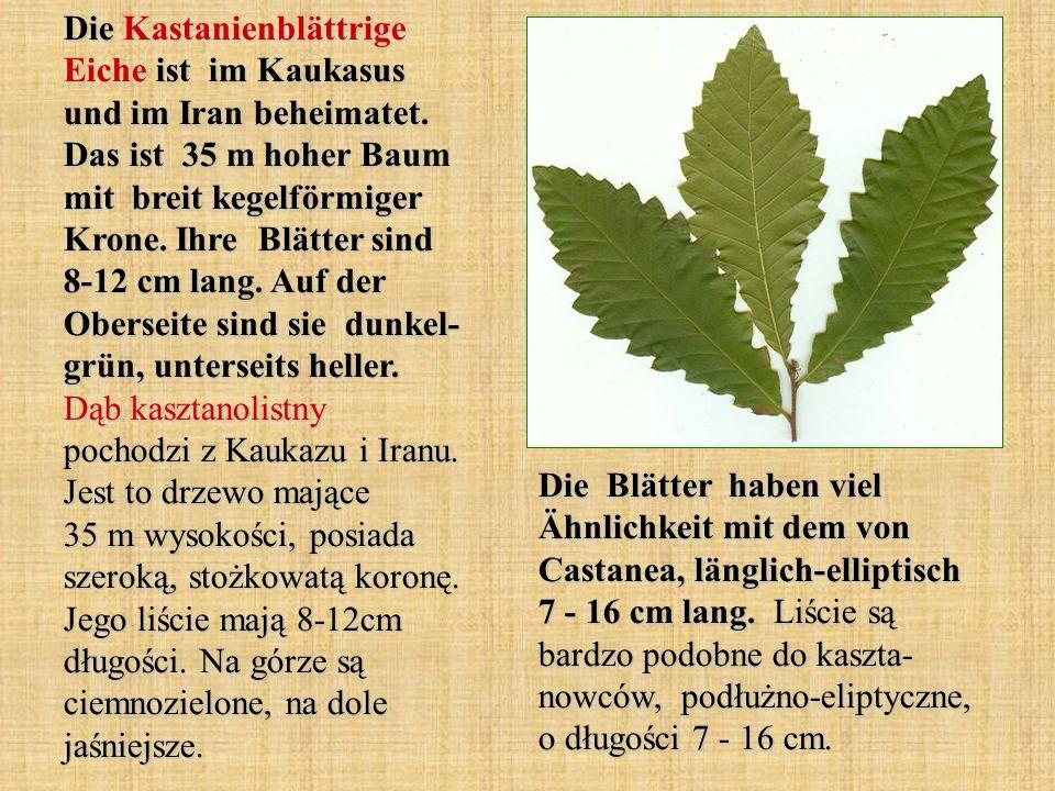 Die Kastanienblättrige Eiche ist im Kaukasus und im Iran beheimatet. Das ist 35 m hoher Baum mit breit kegelförmiger Krone. Ihre Blätter sind 8-12 cm