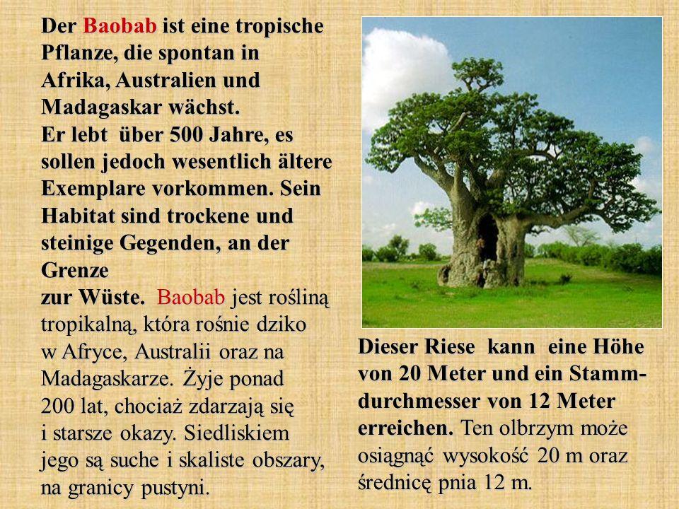 Der Baobab ist eine tropische Pflanze, die spontan in Afrika, Australien und Madagaskar wächst. Er lebt über 500 Jahre, es sollen jedoch wesentlich äl