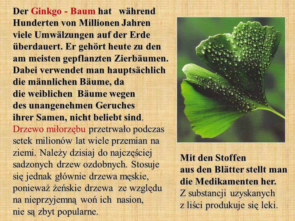 Der Ginkgo - Baum hat während Hunderten von Millionen Jahren viele Umwälzungen auf der Erde überdauert. Er gehört heute zu den am meisten gepflanzten
