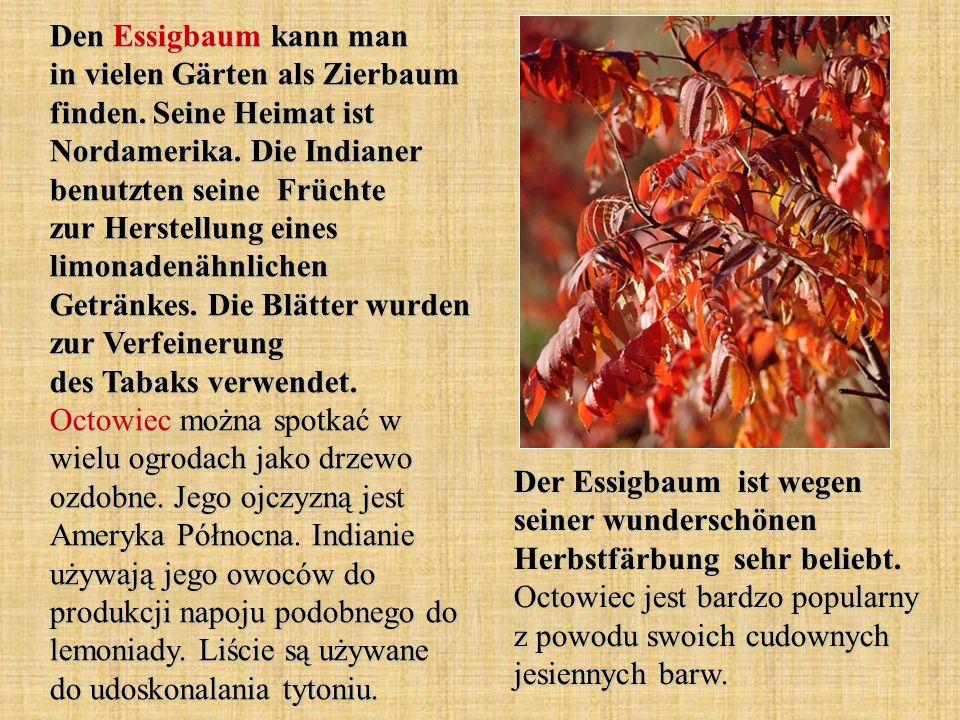 Den Essigbaum kann man in vielen Gärten als Zierbaum finden. Seine Heimat ist Nordamerika. Die Indianer benutzten seine Früchte zur Herstellung eines
