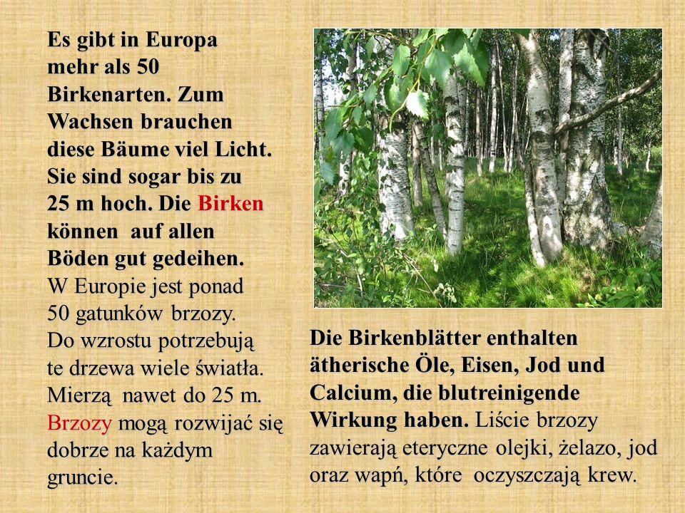 Es gibt in Europa mehr als 50 Birkenarten. Zum Wachsen brauchen diese Bäume viel Licht. Sie sind sogar bis zu 25 m hoch. Die Birken können auf allen B