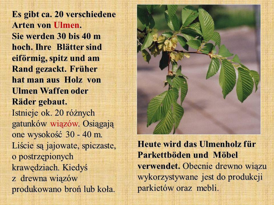 Es gibt ca. 20 verschiedene Arten von Ulmen. Sie werden 30 bis 40 m hoch. Ihre Blätter sind eiförmig, spitz und am Rand gezackt. Früher hat man aus Ho
