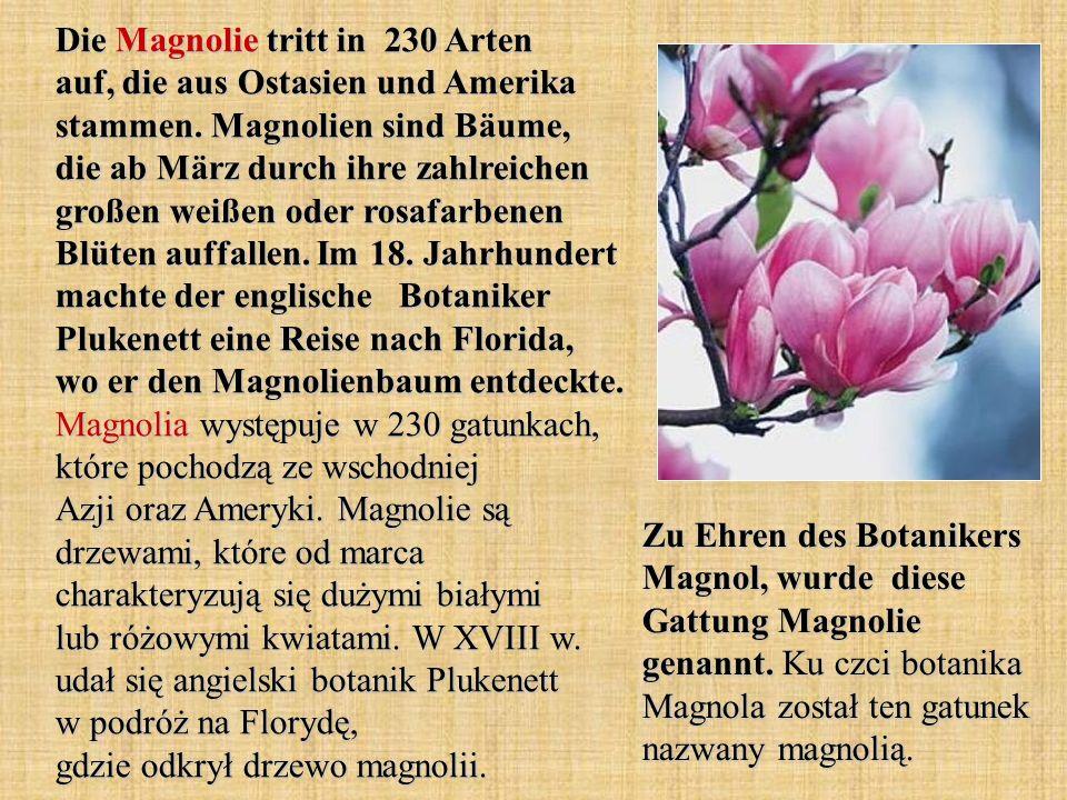 Die Magnolie tritt in 230 Arten auf, die aus Ostasien und Amerika stammen. Magnolien sind Bäume, die ab März durch ihre zahlreichen großen weißen oder