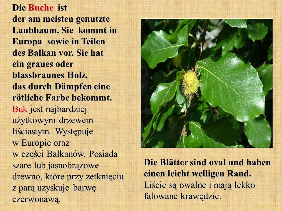 Die Buche ist der am meisten genutzte Laubbaum. Sie kommt in Europa sowie in Teilen des Balkan vor. Sie hat ein graues oder blassbraunes Holz, das dur