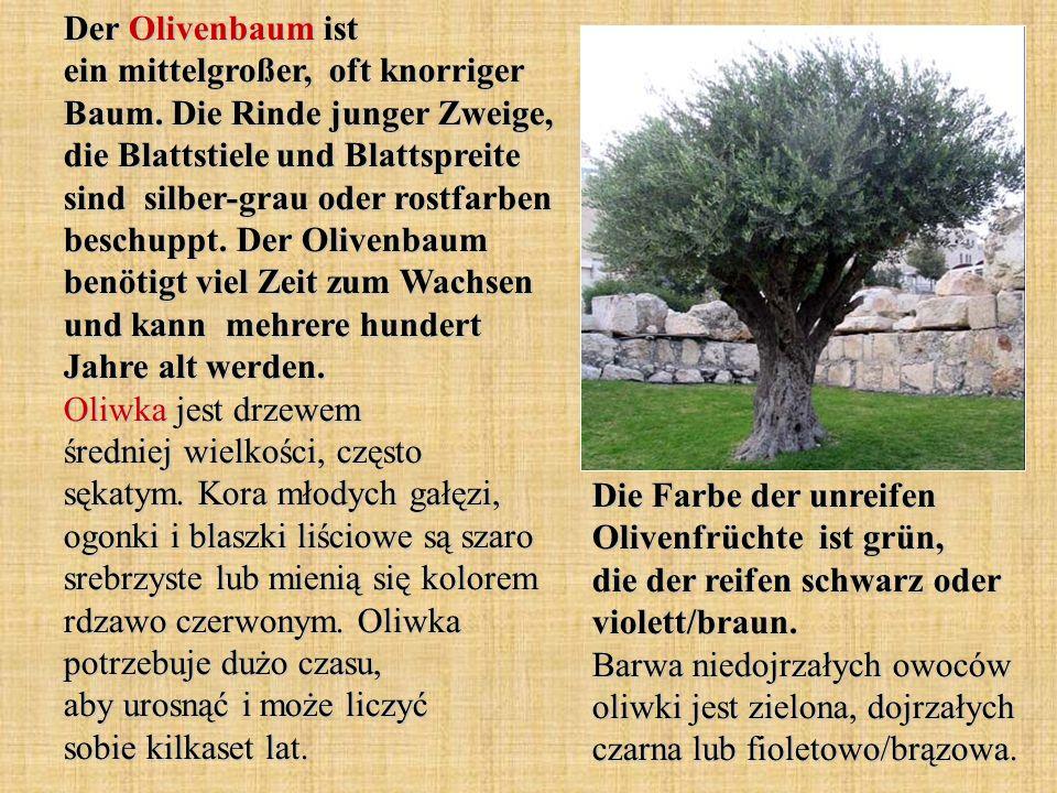Der Olivenbaum ist ein mittelgroßer, oft knorriger Baum. Die Rinde junger Zweige, die Blattstiele und Blattspreite sind silber-grau oder rostfarben be