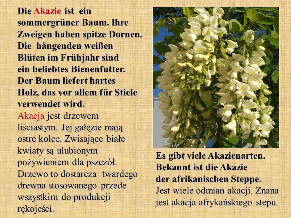 Die Akazie ist ein sommergrüner Baum. Ihre Zweigen haben spitze Dornen. Die hängenden weißen Blüten im Frühjahr sind ein beliebtes Bienenfutter. Der B