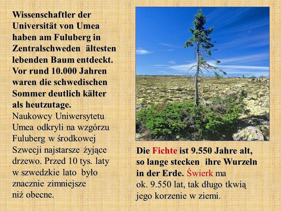 Wissenschaftler der Universität von Umea haben am Fuluberg in Zentralschweden ältesten lebenden Baum entdeckt. Vor rund 10.000 Jahren waren die schwed