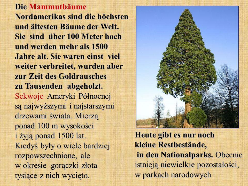 Die Mammutbäume Nordamerikas sind die höchsten und ältesten Bäume der Welt. Sie sind über 100 Meter hoch und werden mehr als 1500 Jahre alt. Sie waren