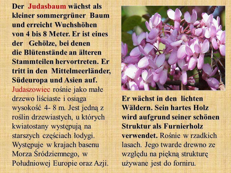 Der Judasbaum wächst als kleiner sommergrüner Baum und erreicht Wuchshöhen von 4 bis 8 Meter. Er ist eines der Gehölze, bei denen die Blütenstände an