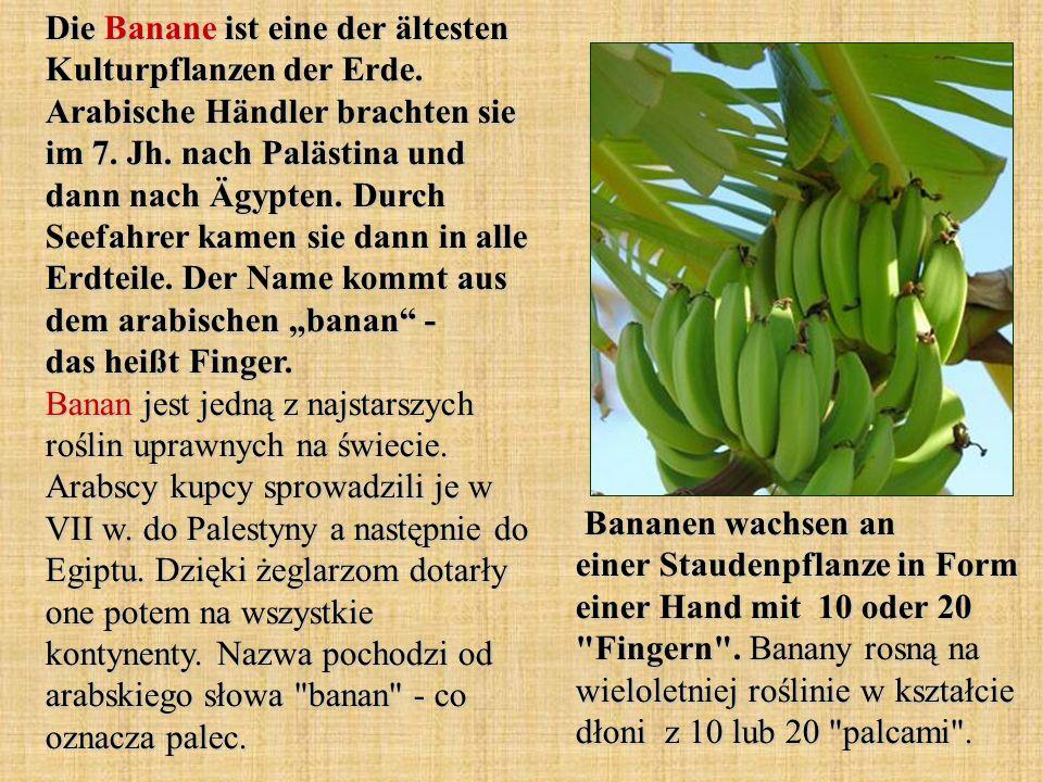 Die Banane ist eine der ältesten Kulturpflanzen der Erde. Arabische Händler brachten sie im 7. Jh. nach Palästina und dann nach Ägypten. Durch Seefahr