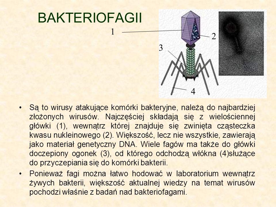 BAKTERIOFAGII Są to wirusy atakujące komórki bakteryjne, należą do najbardziej złożonych wirusów. Najczęściej składają się z wielościennej główki (1),
