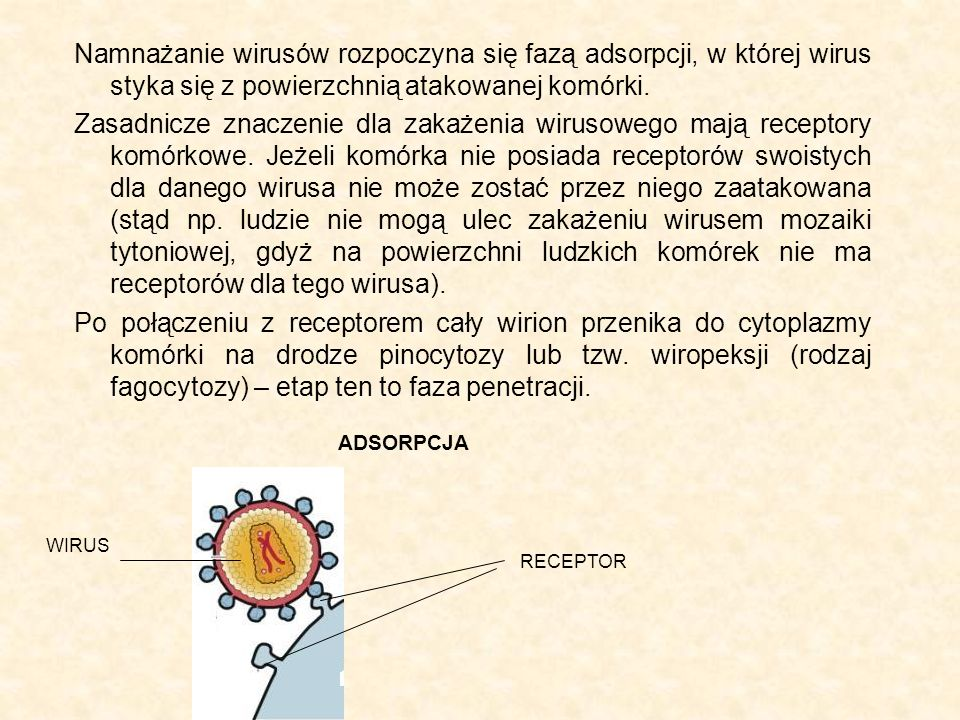 Namnażanie wirusów rozpoczyna się fazą adsorpcji, w której wirus styka się z powierzchnią atakowanej komórki. Zasadnicze znaczenie dla zakażenia wirus