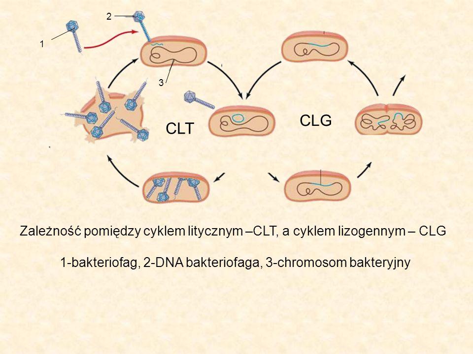 1 2 3 CLT CLG Zależność pomiędzy cyklem litycznym –CLT, a cyklem lizogennym – CLG 1-bakteriofag, 2-DNA bakteriofaga, 3-chromosom bakteryjny