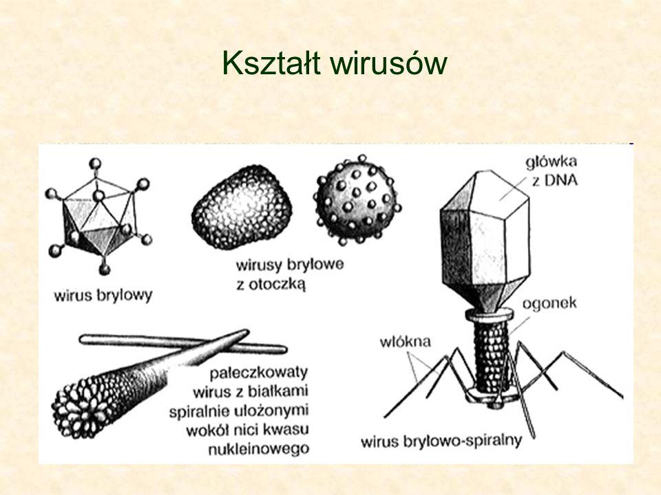 BAKTERIOFAGII Są to wirusy atakujące komórki bakteryjne, należą do najbardziej złożonych wirusów.